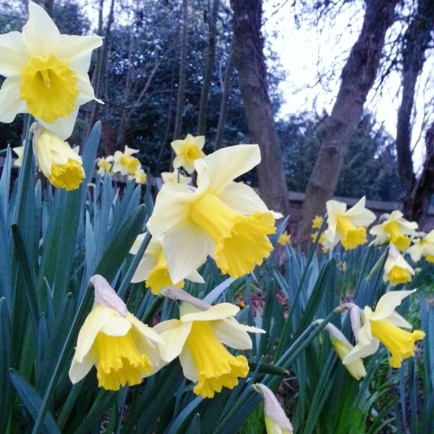 MARCH 2014 - Daffodils in bloom